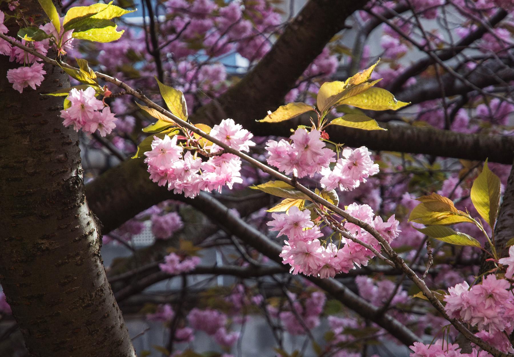 Closeup of pink blossom