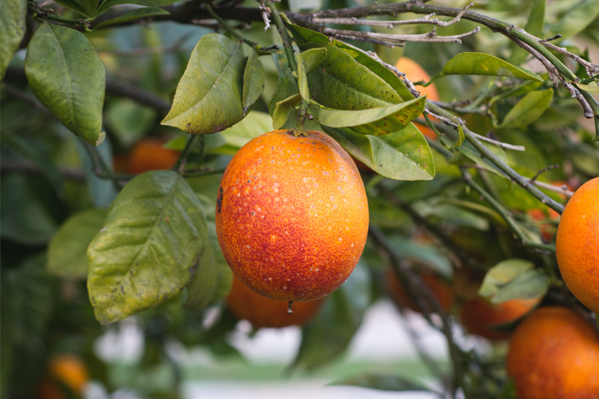 Orange hanging in tree