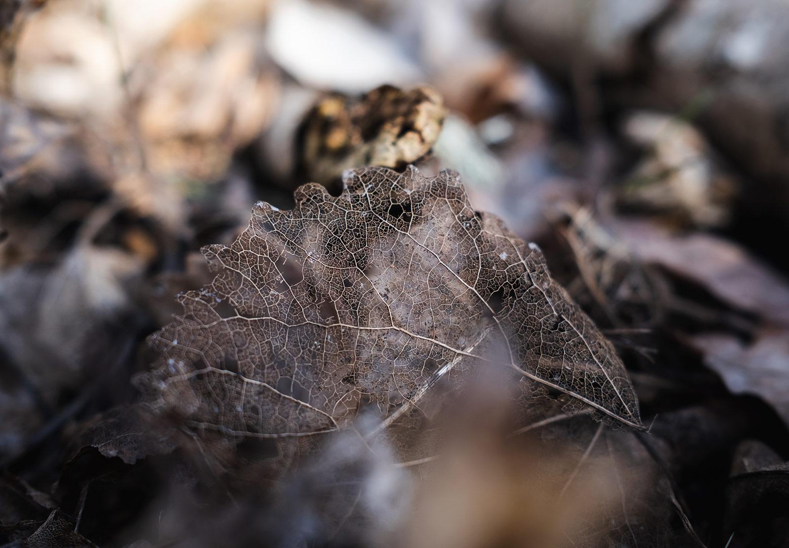 Leaf skeleton on the ground