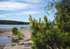 Closeup of spruce