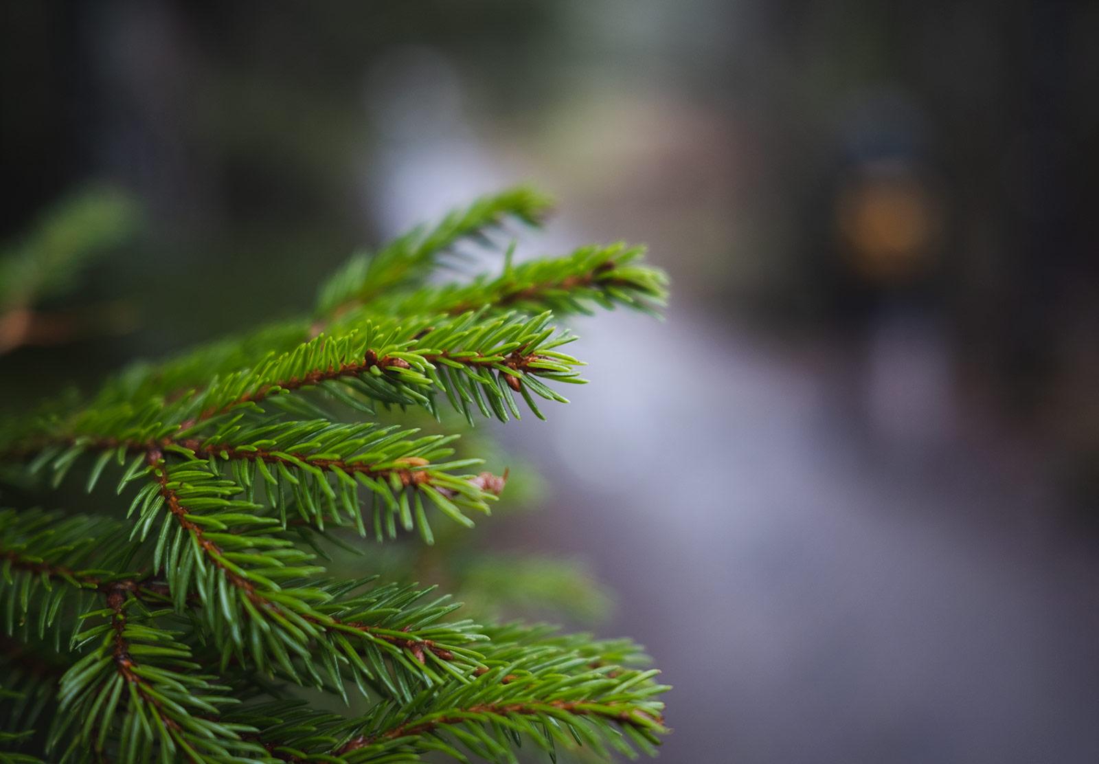 Green spruce needles