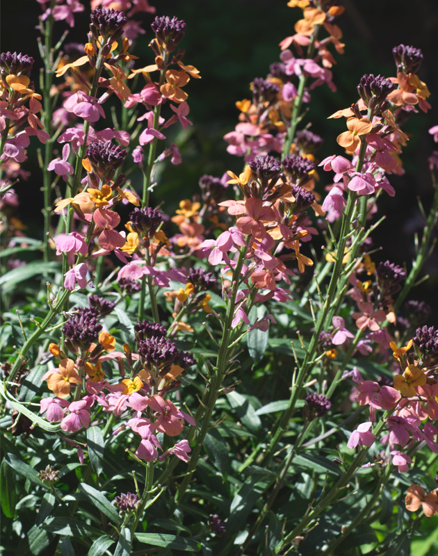 Multicoloured erysimum flowers