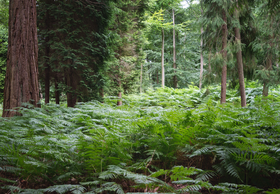 Fern lined forest path