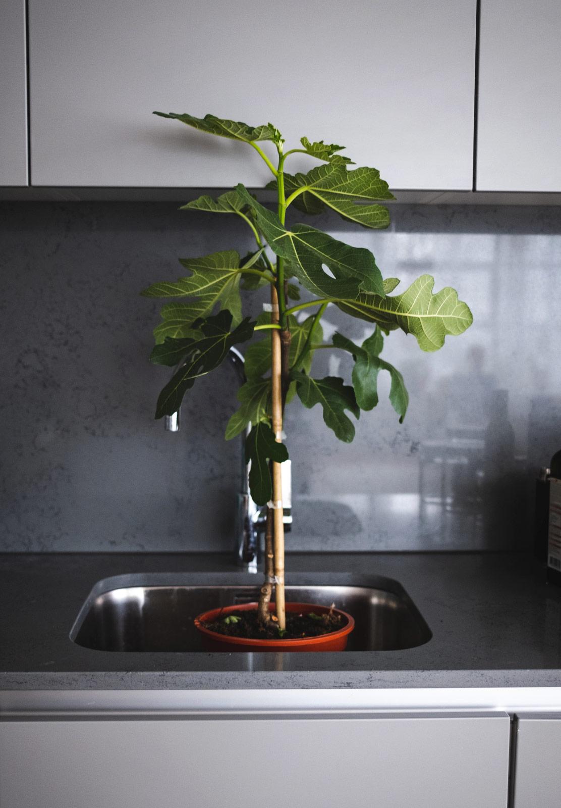 Fig tree in sink