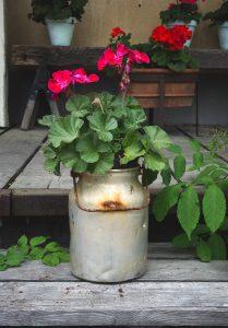 Geraniums in milk pail