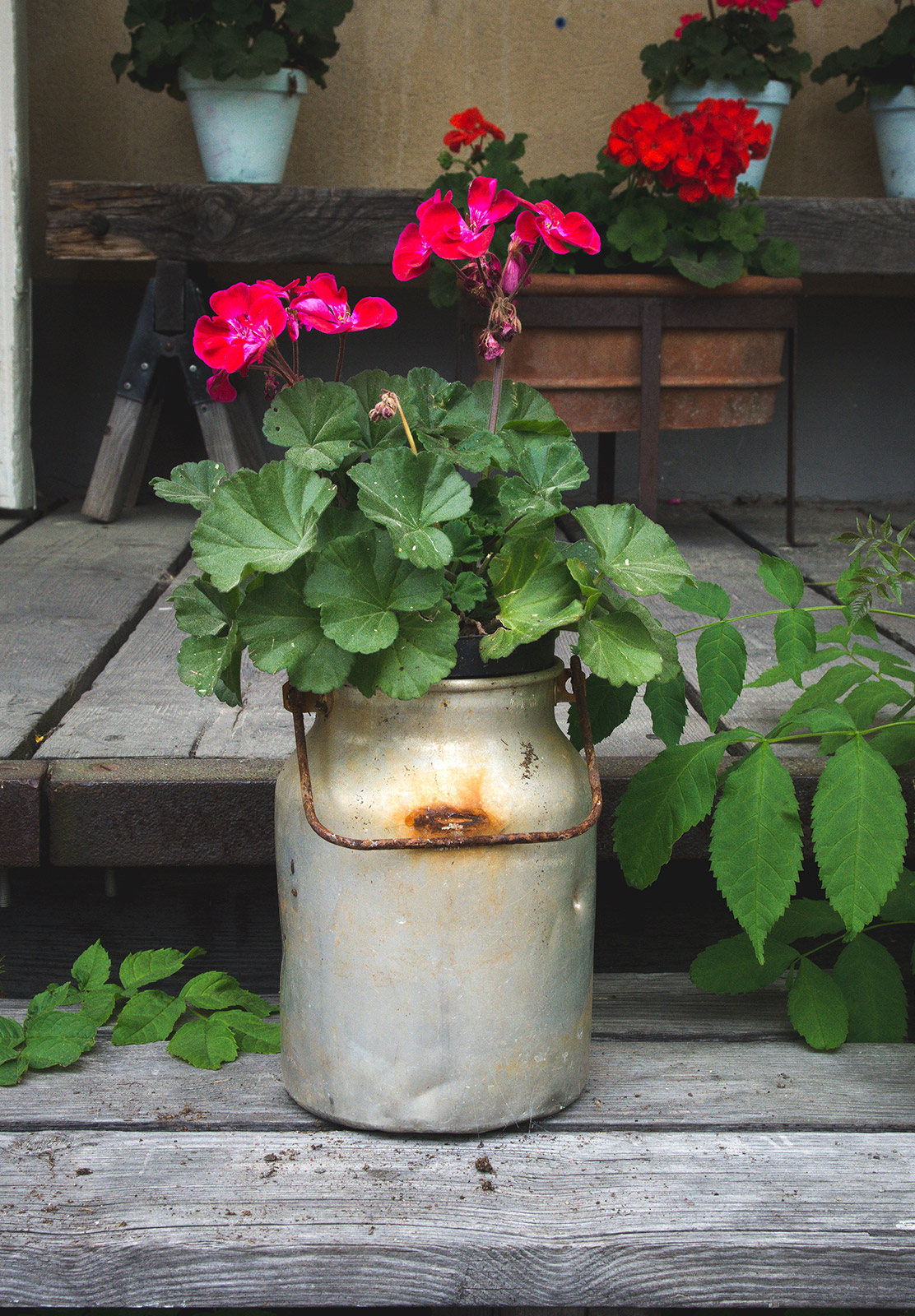 Geraniums in milk pail