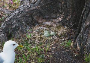 Green seagull eggs