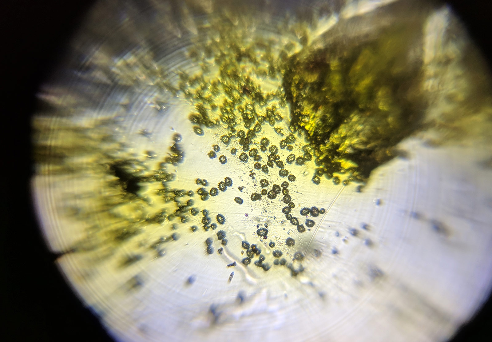 Pollen particles under micropscope