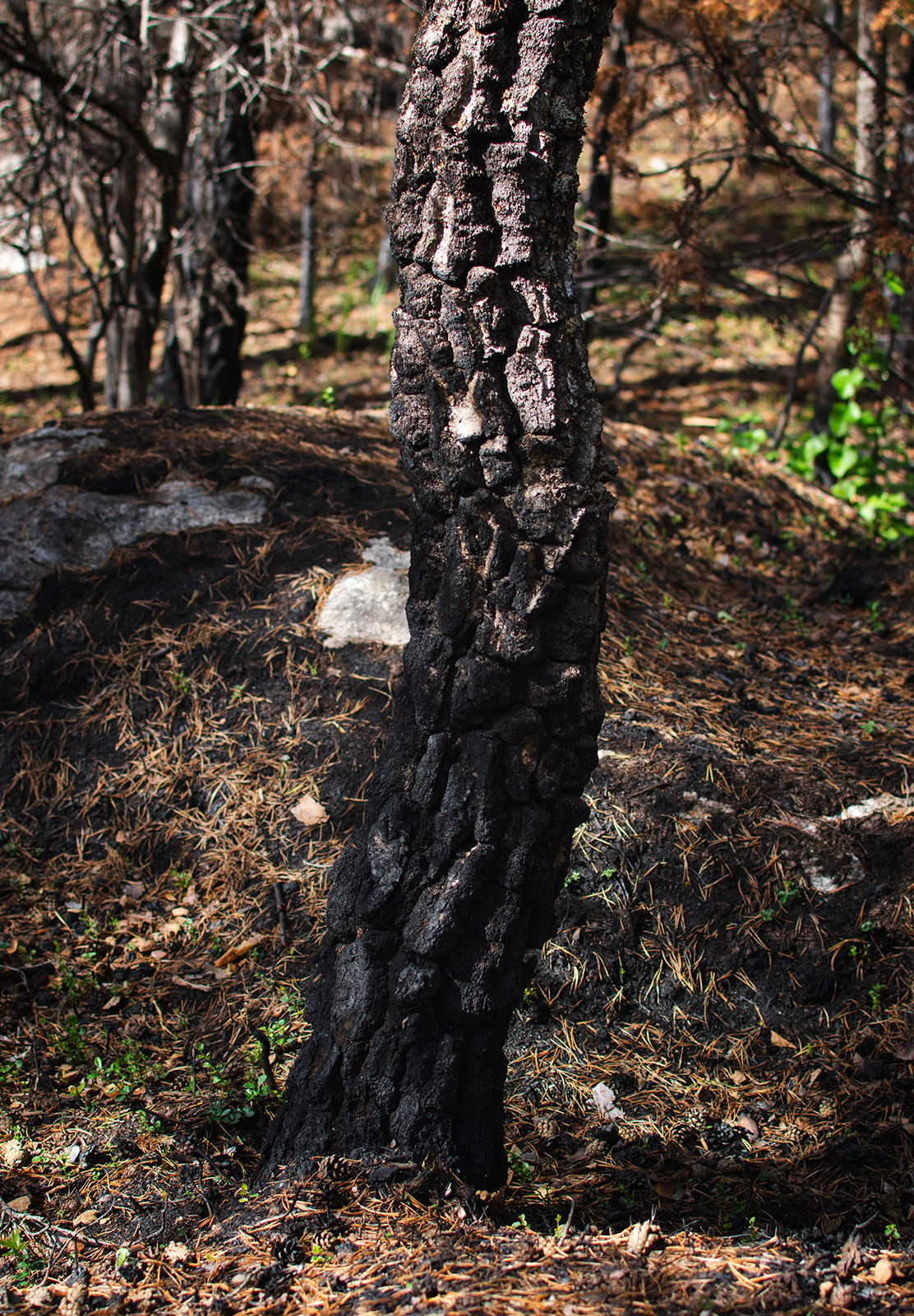 Burnt tree trunk