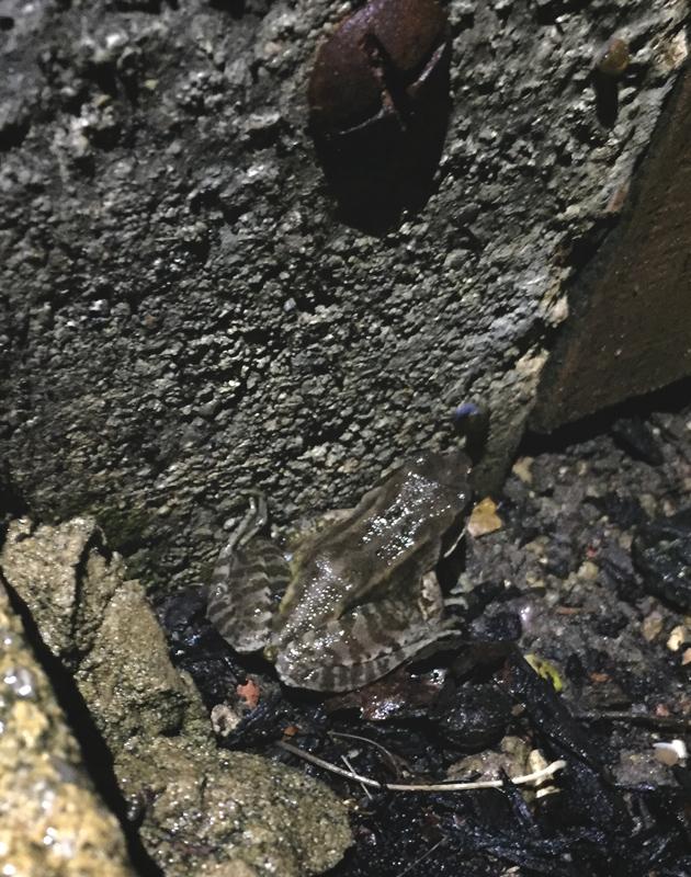 Frog on garden path
