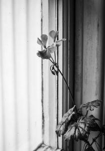 Flower leaning on window