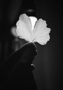 Gingko leaf