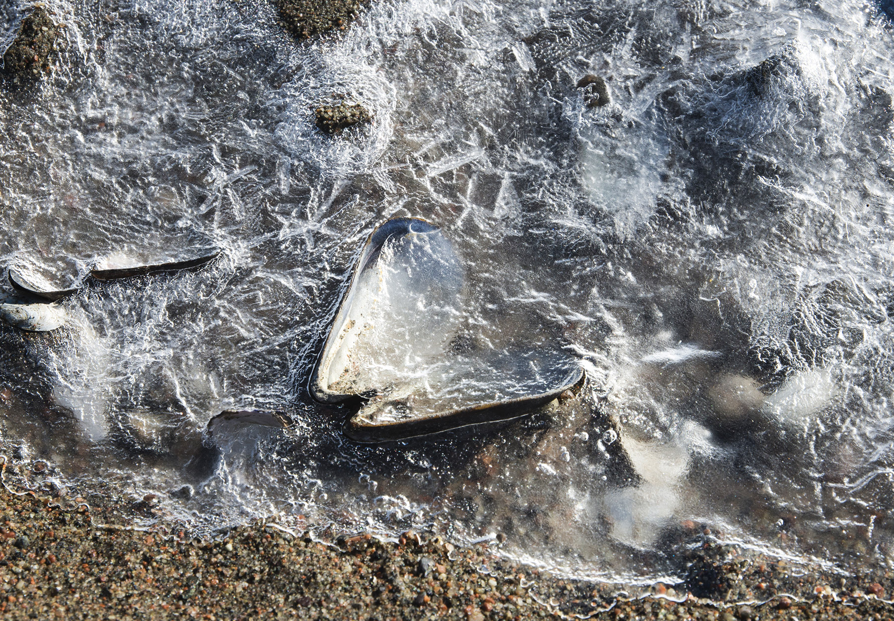 Mussel shell in ice
