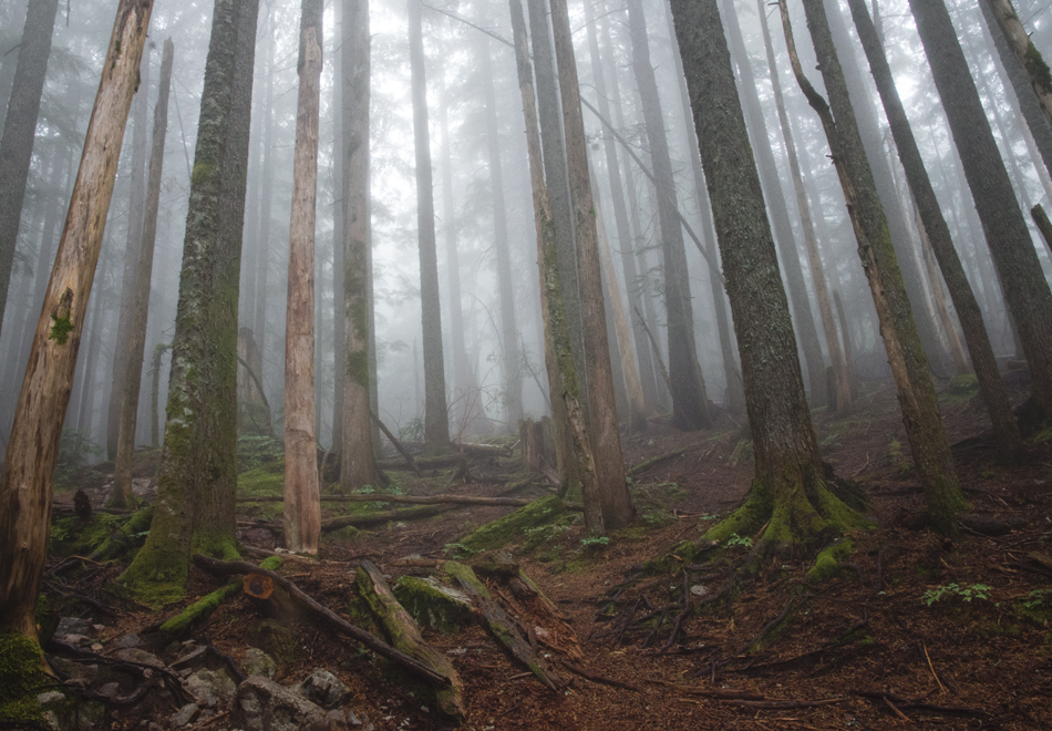 Moss covered trees in fog