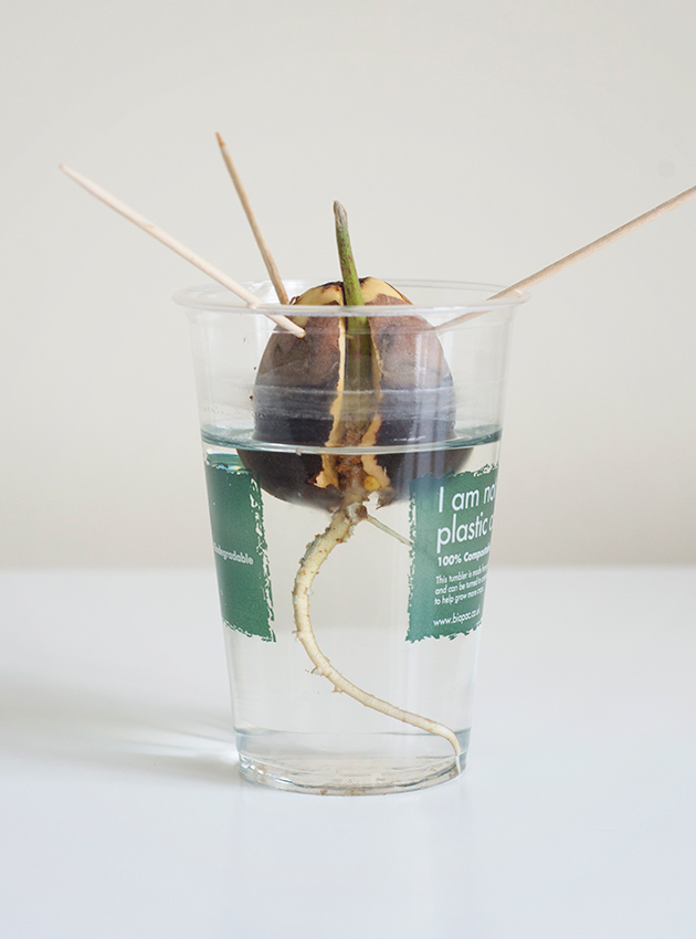 Green sprout growing out of avocado pit