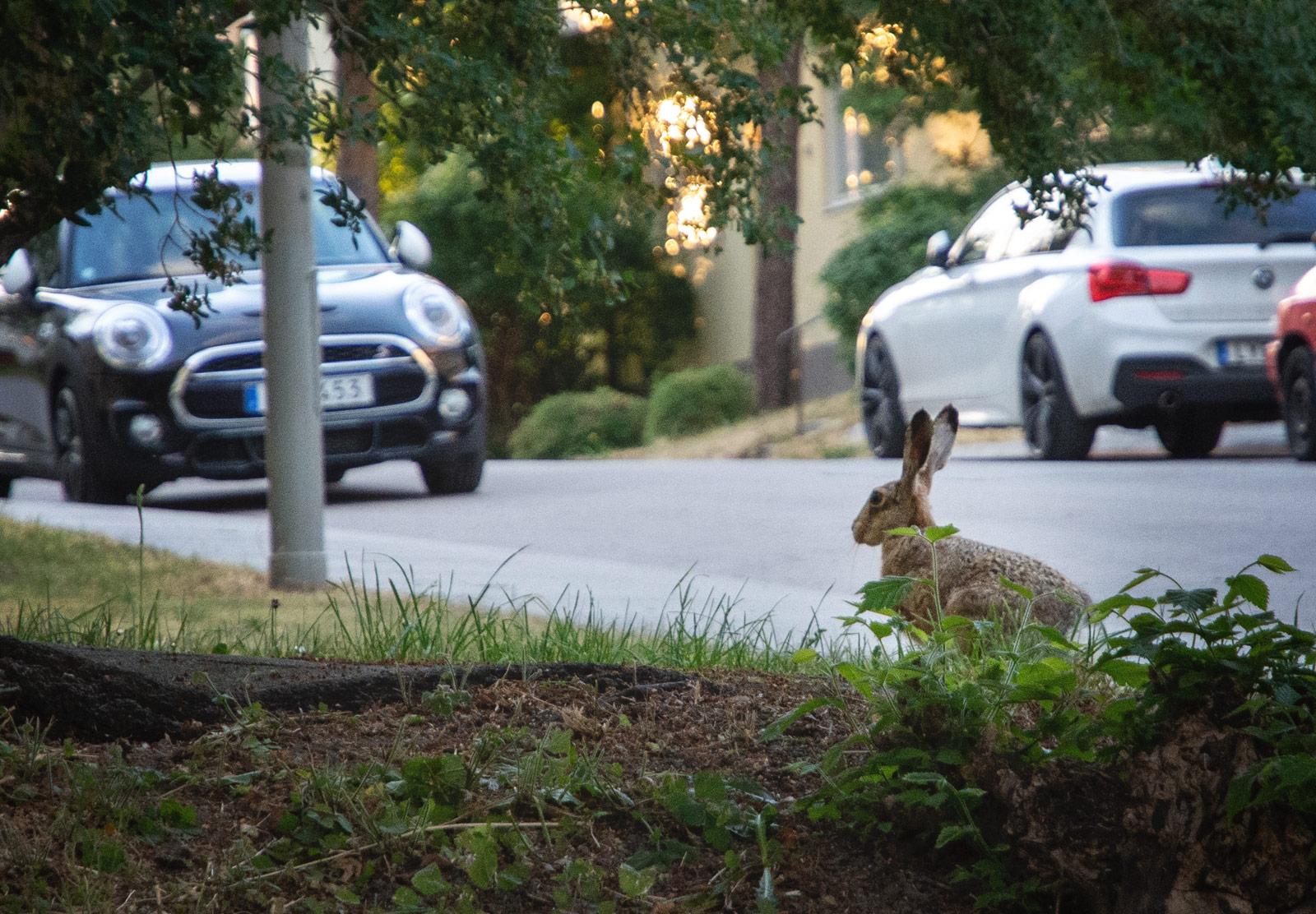 Hare in bush