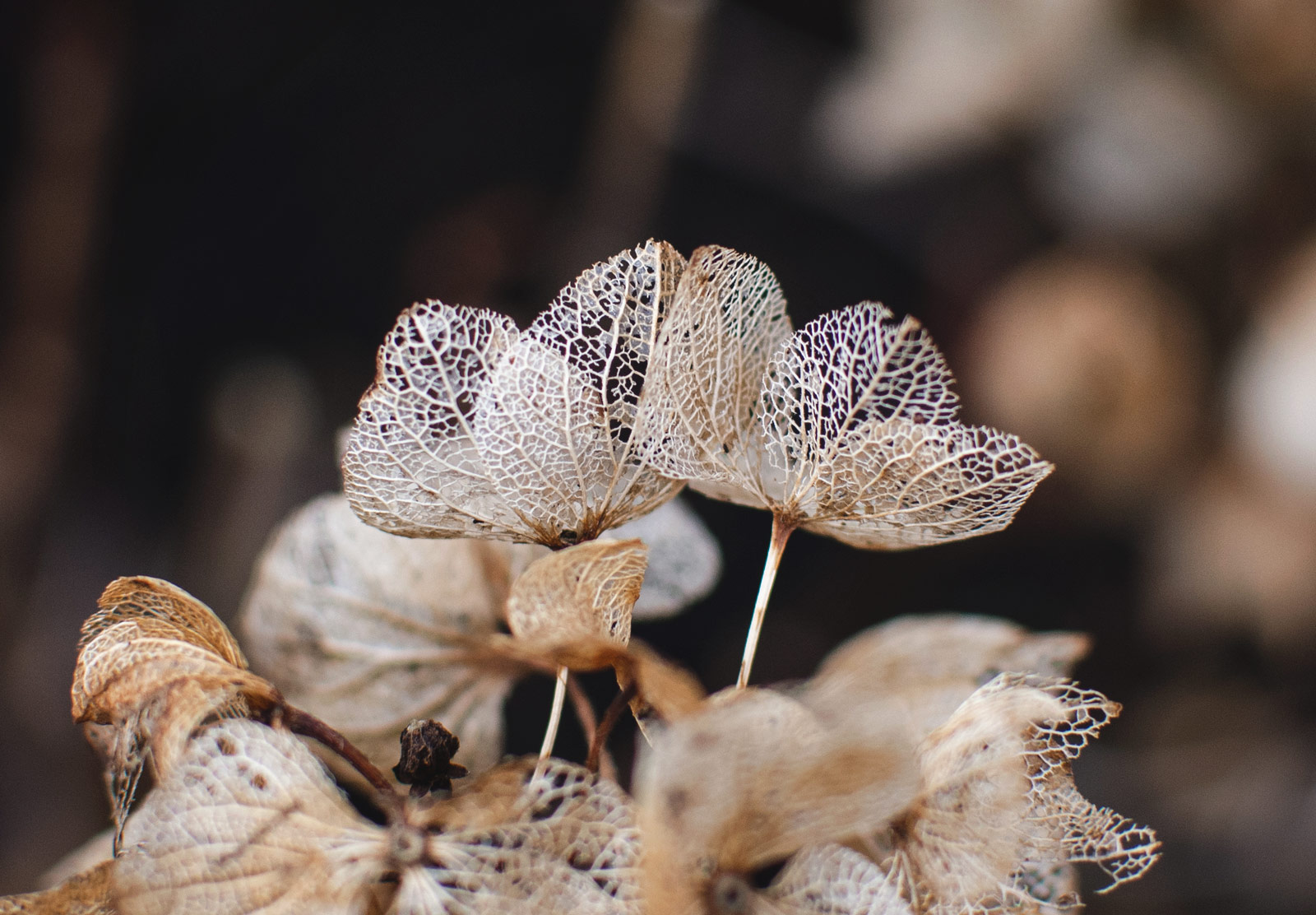 Faded petals with holes