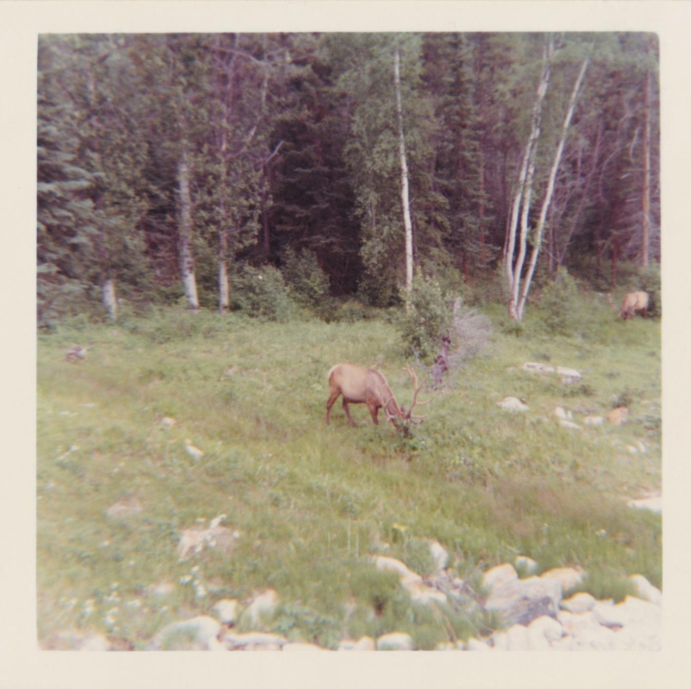 Elk feeding on grass