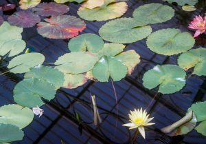 Green waterlillies