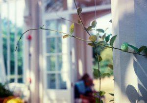 Leaves on creeping vine