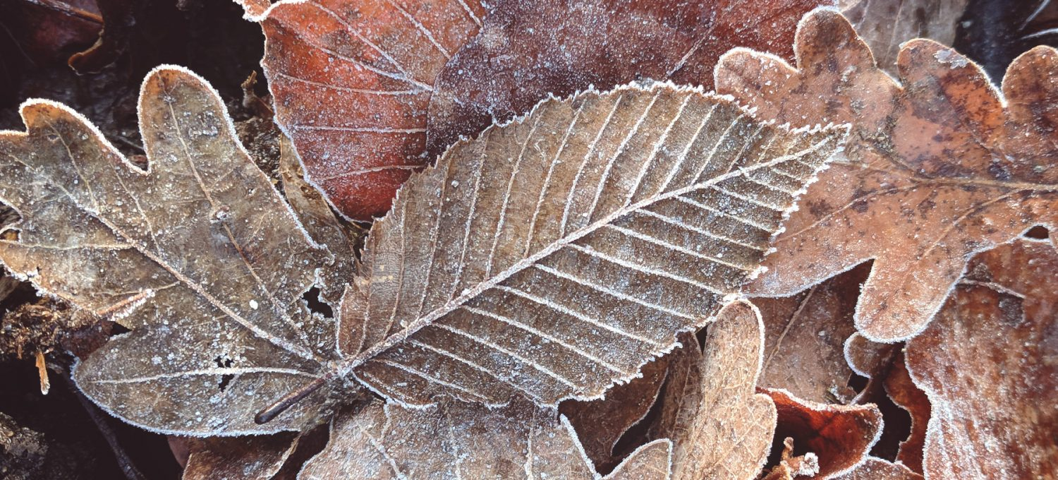 Frost on brown leaves