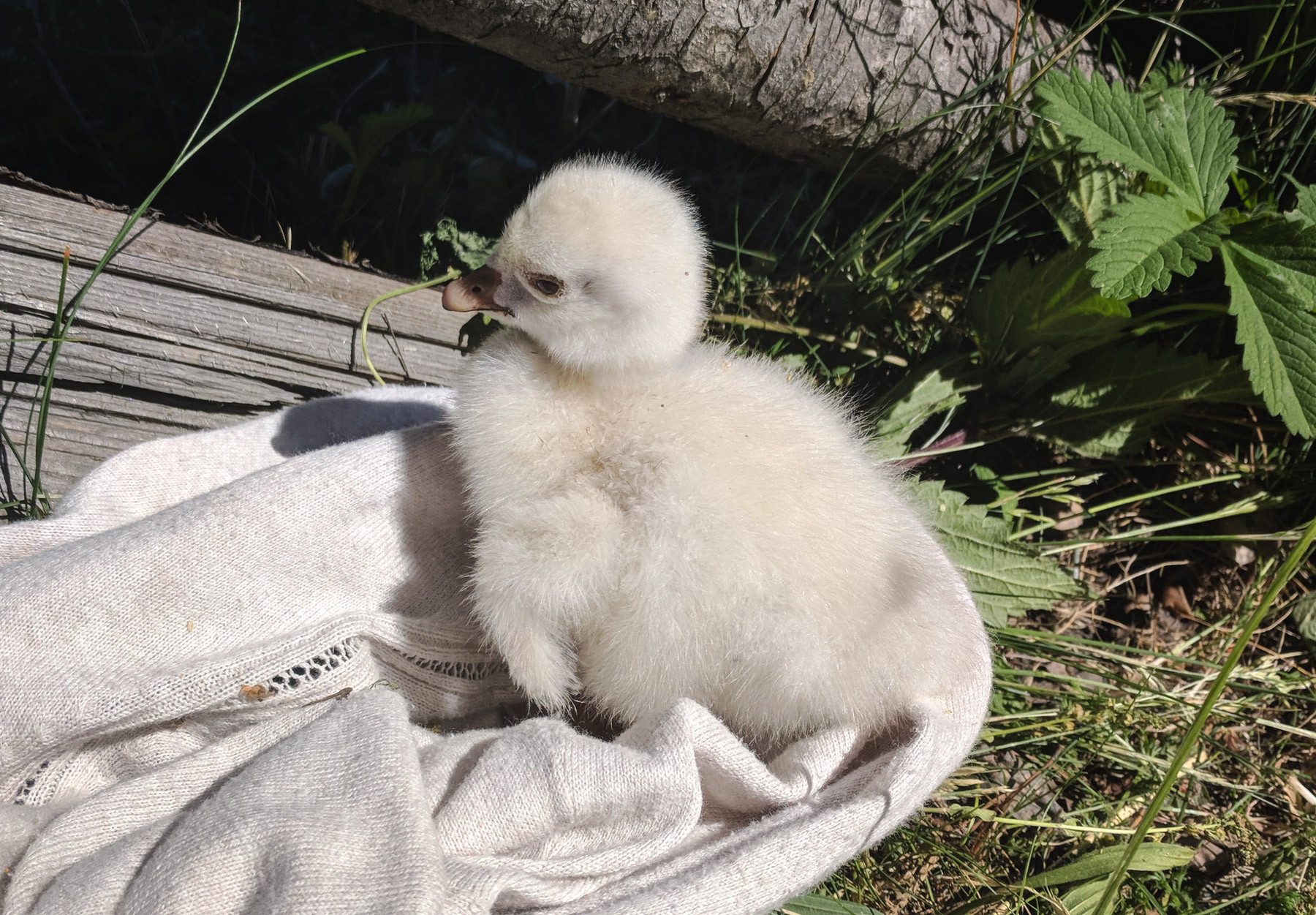 Fluffy grey gosling