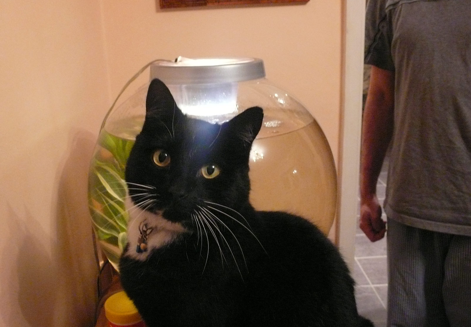 Cat next to fish bowl