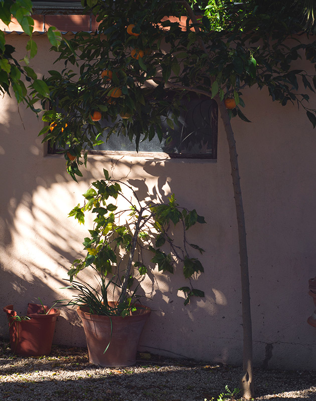 Orange tree in the sun