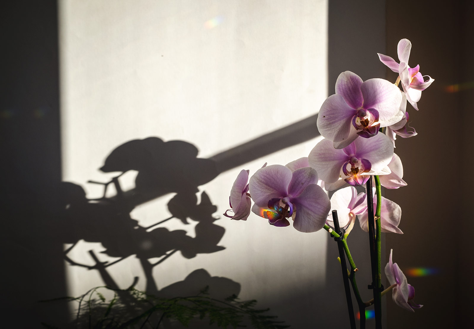 Pink orchid in the sun