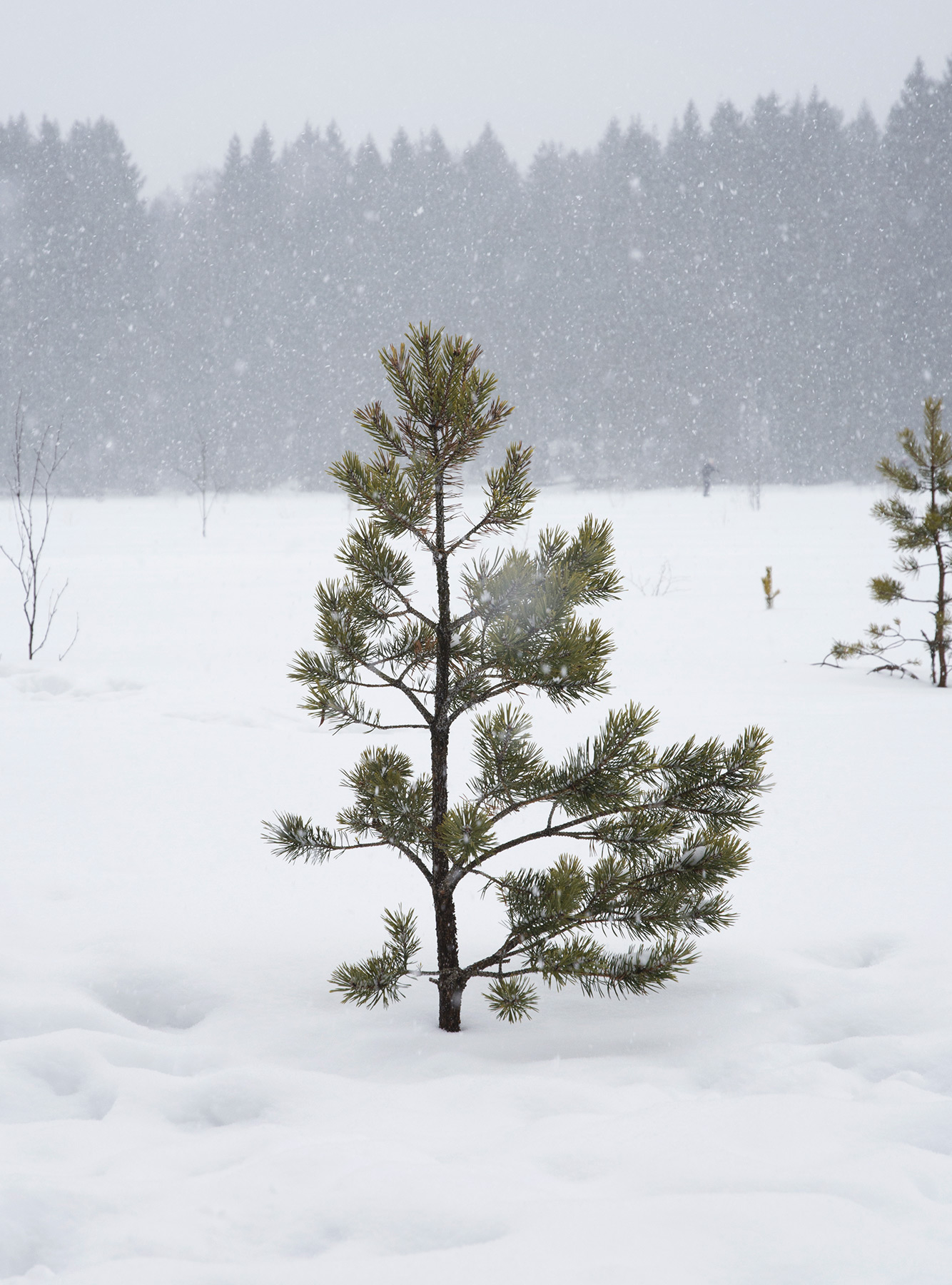 Single pine tree in the snow