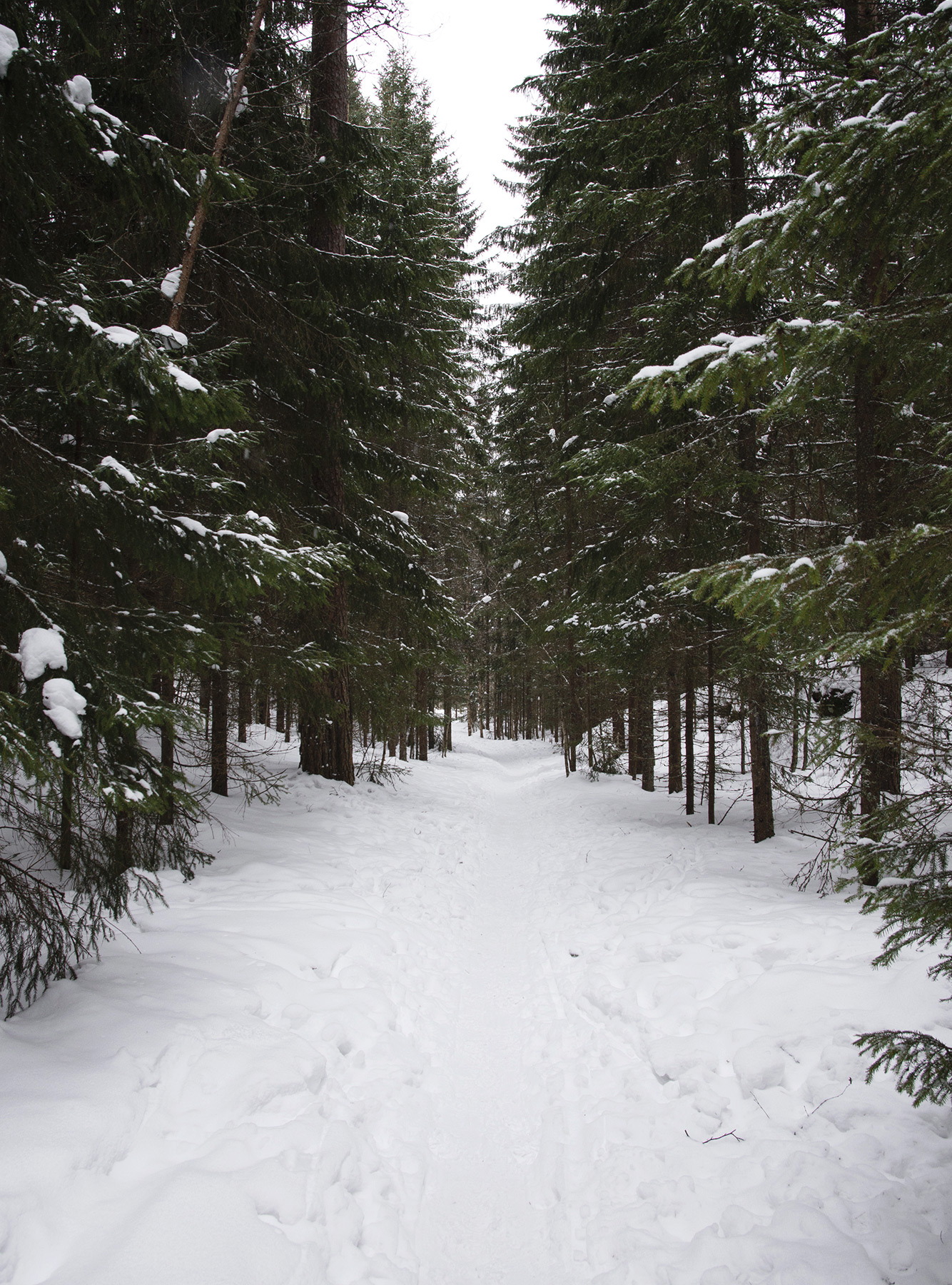 Tree lined snow trail