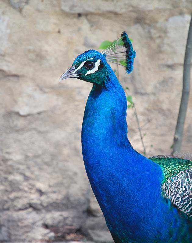 Bright blue peacock head