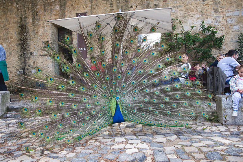 Parading peacock
