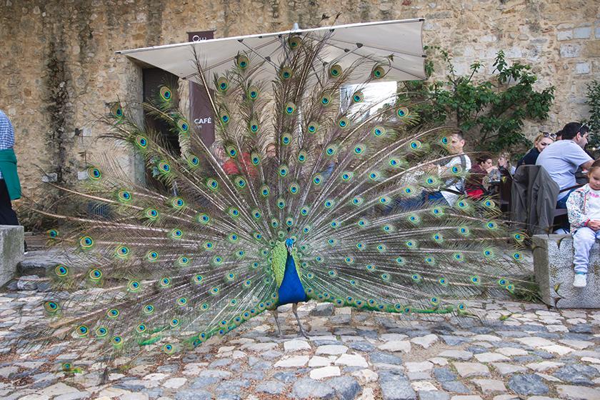 Parading peacock