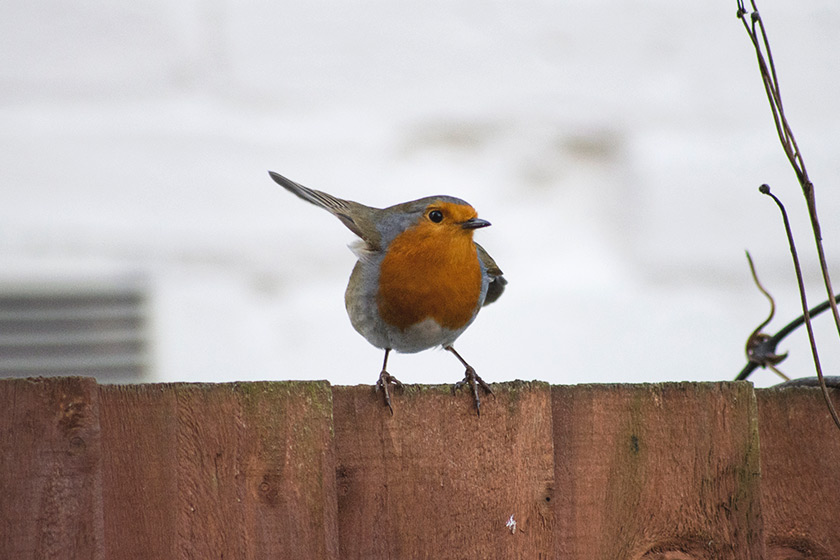 Robin on fence with wing up