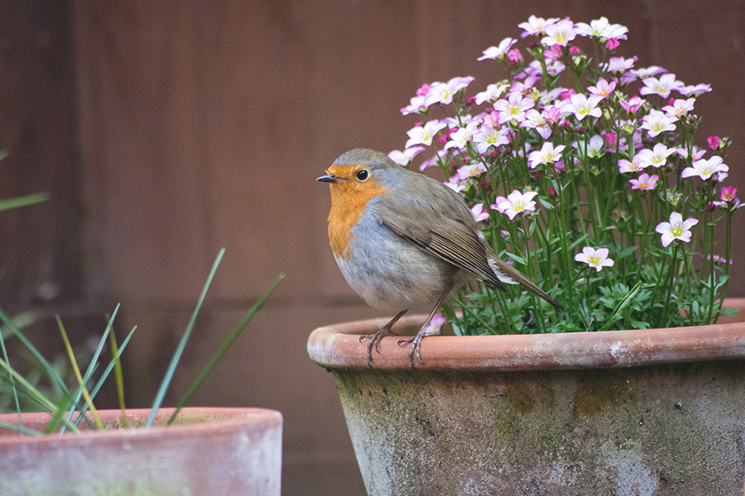 Robin standing on flower pot