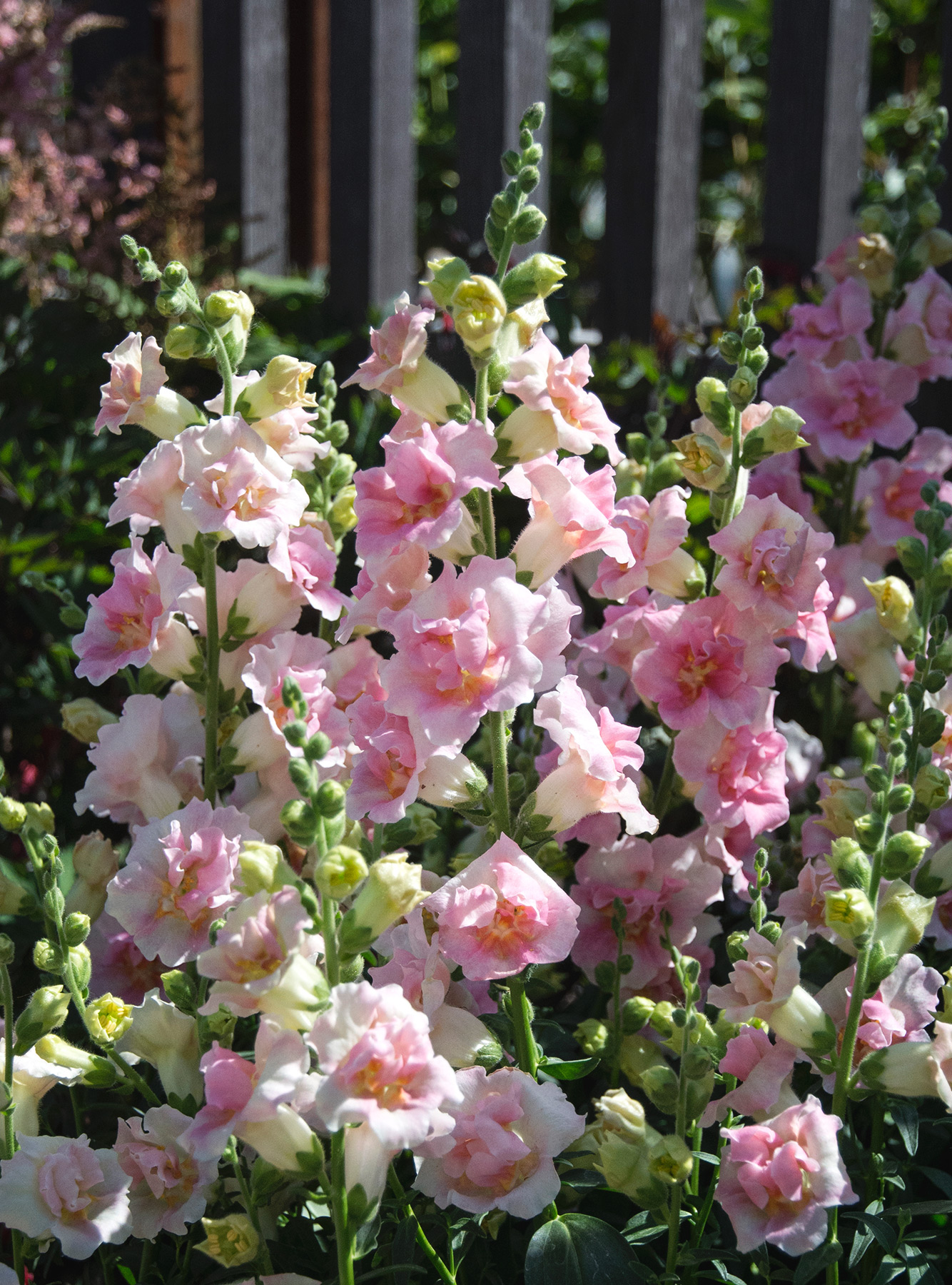 Pale pink stock flowers