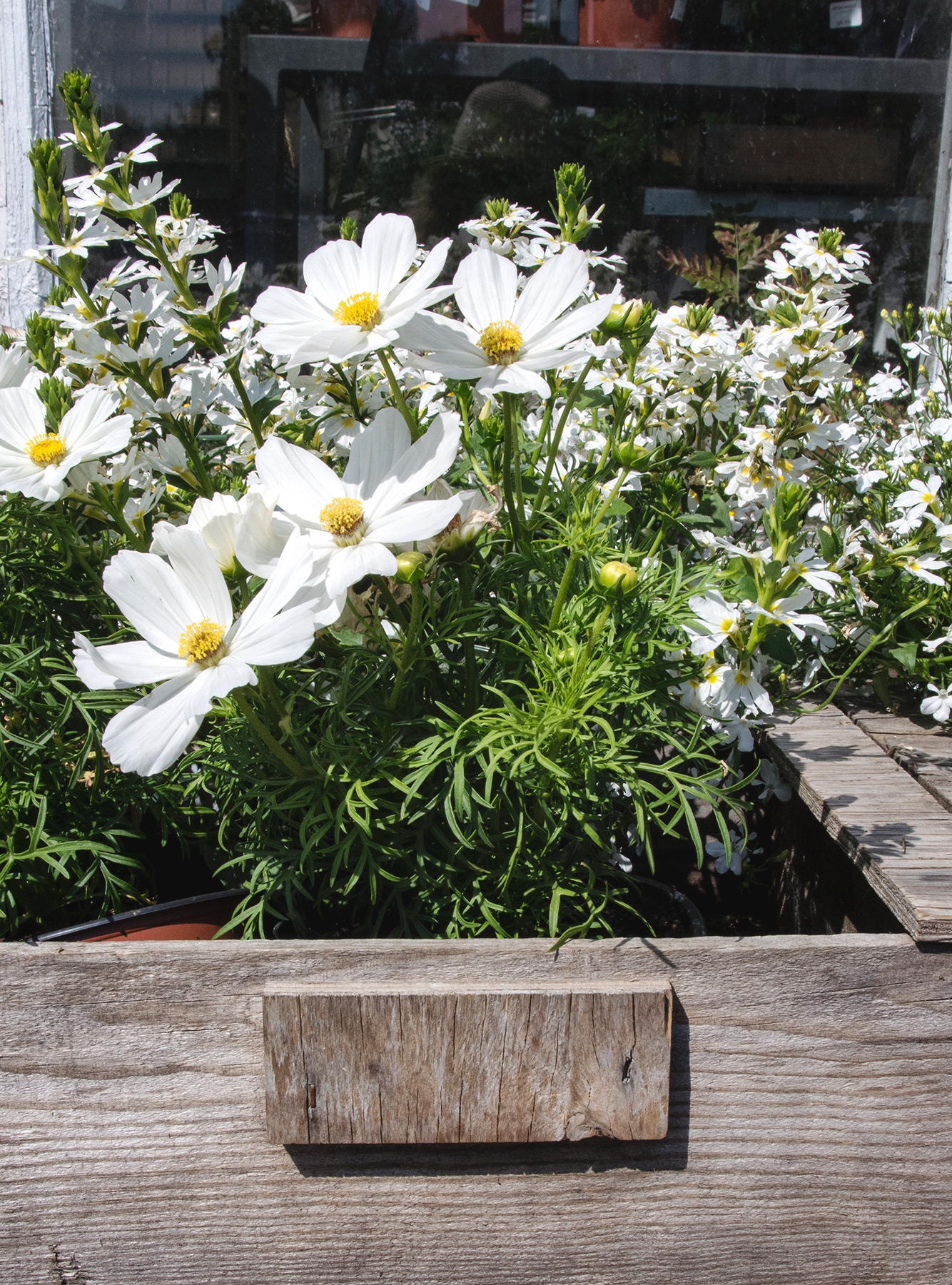 White cosmos in wooden basket