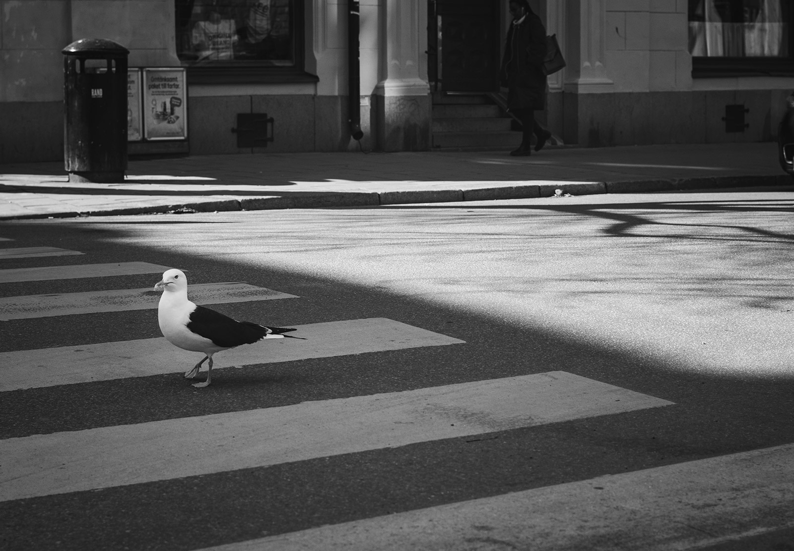 Seagull on pedestrian crossing