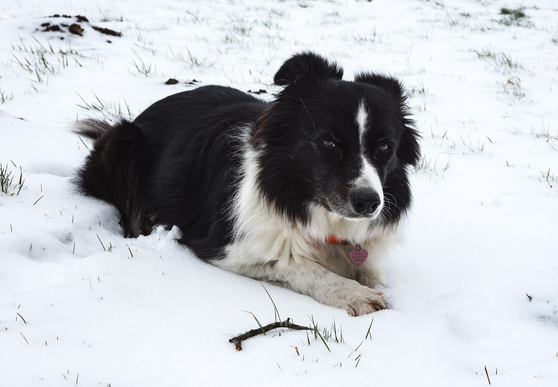 Black and white dog in snow