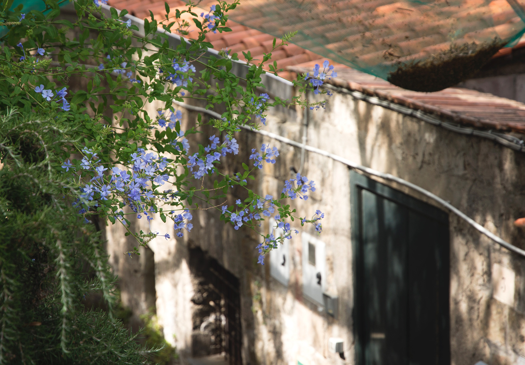 Blue flowers hanging over alley