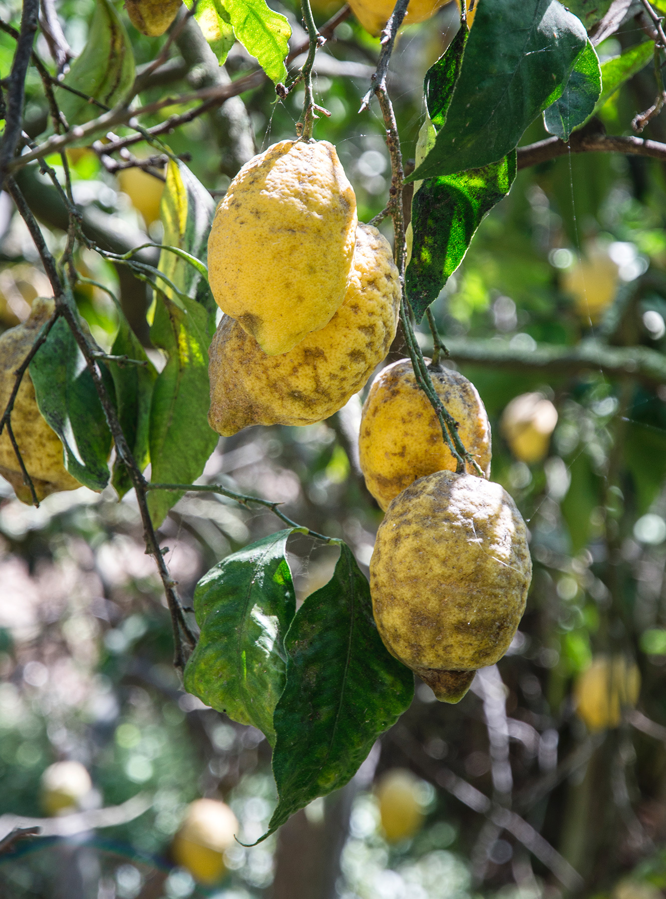 Lemons on a tree in the sun
