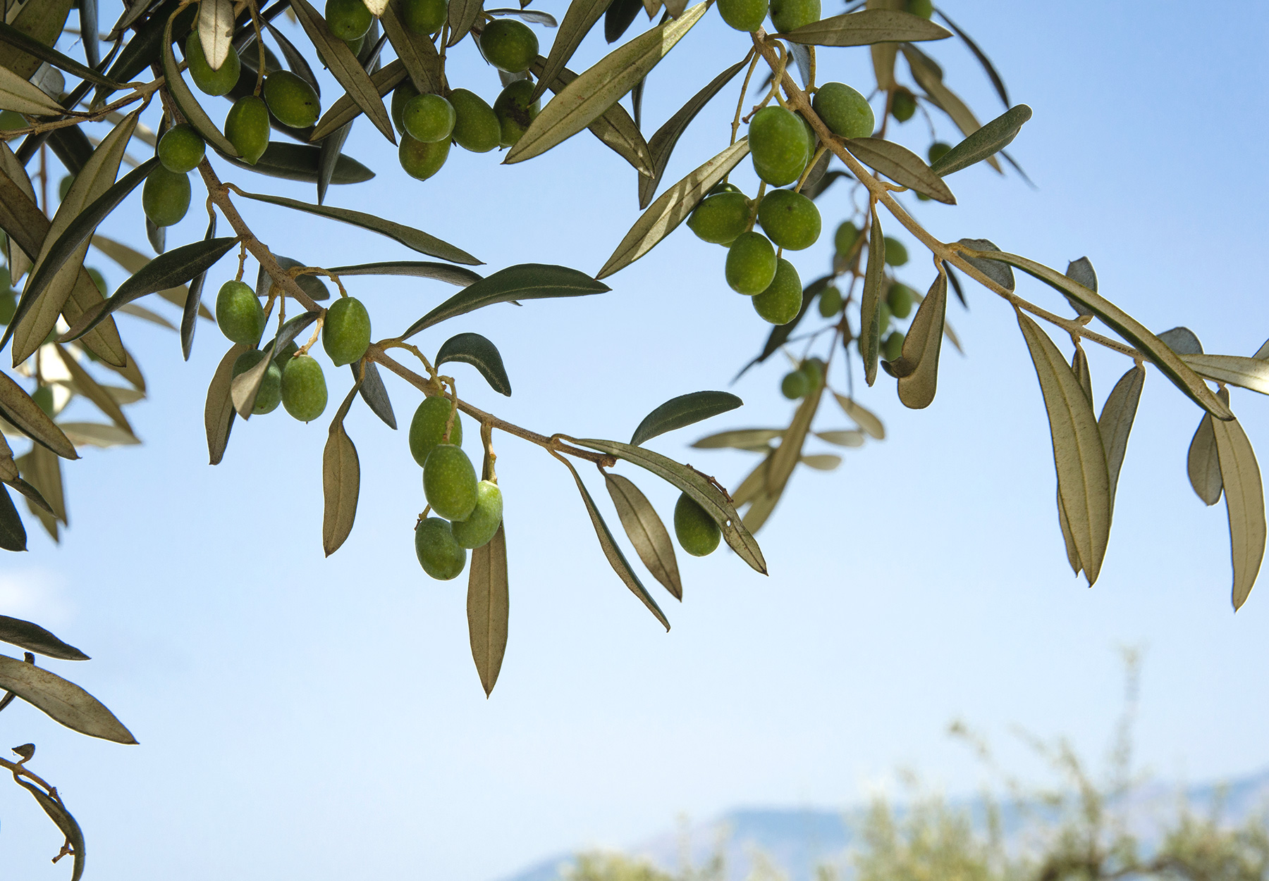 Green olives on tree