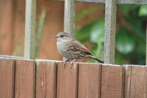 Sparrow on fence