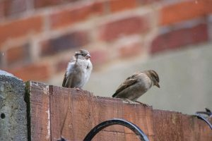 Pair of house sparrows