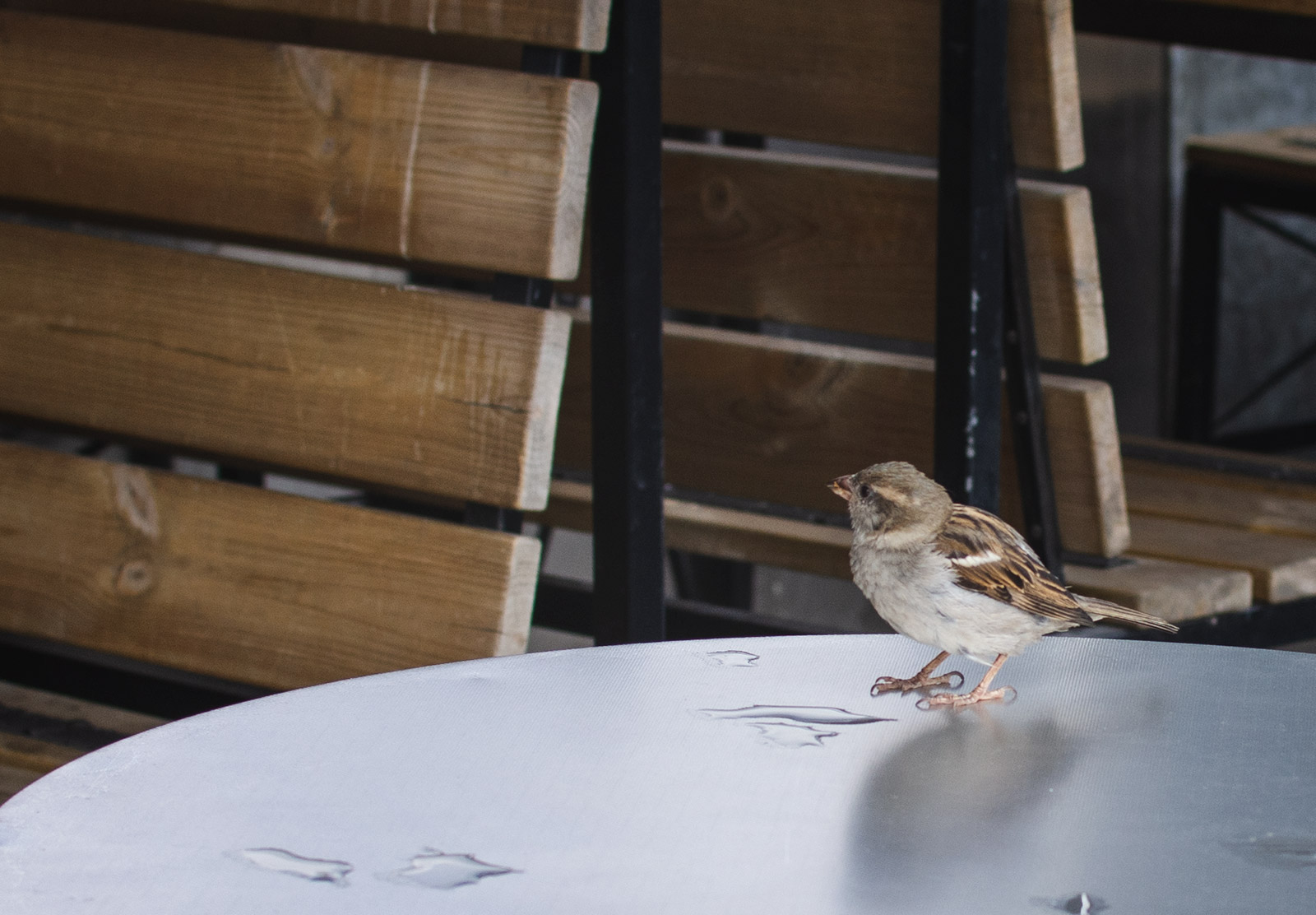 Sparrow on table