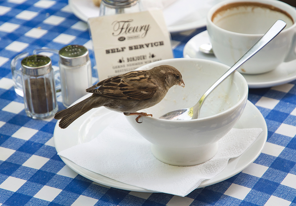 Sparrow on a teacup