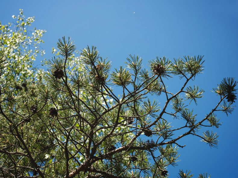 Spruce branches against Sky