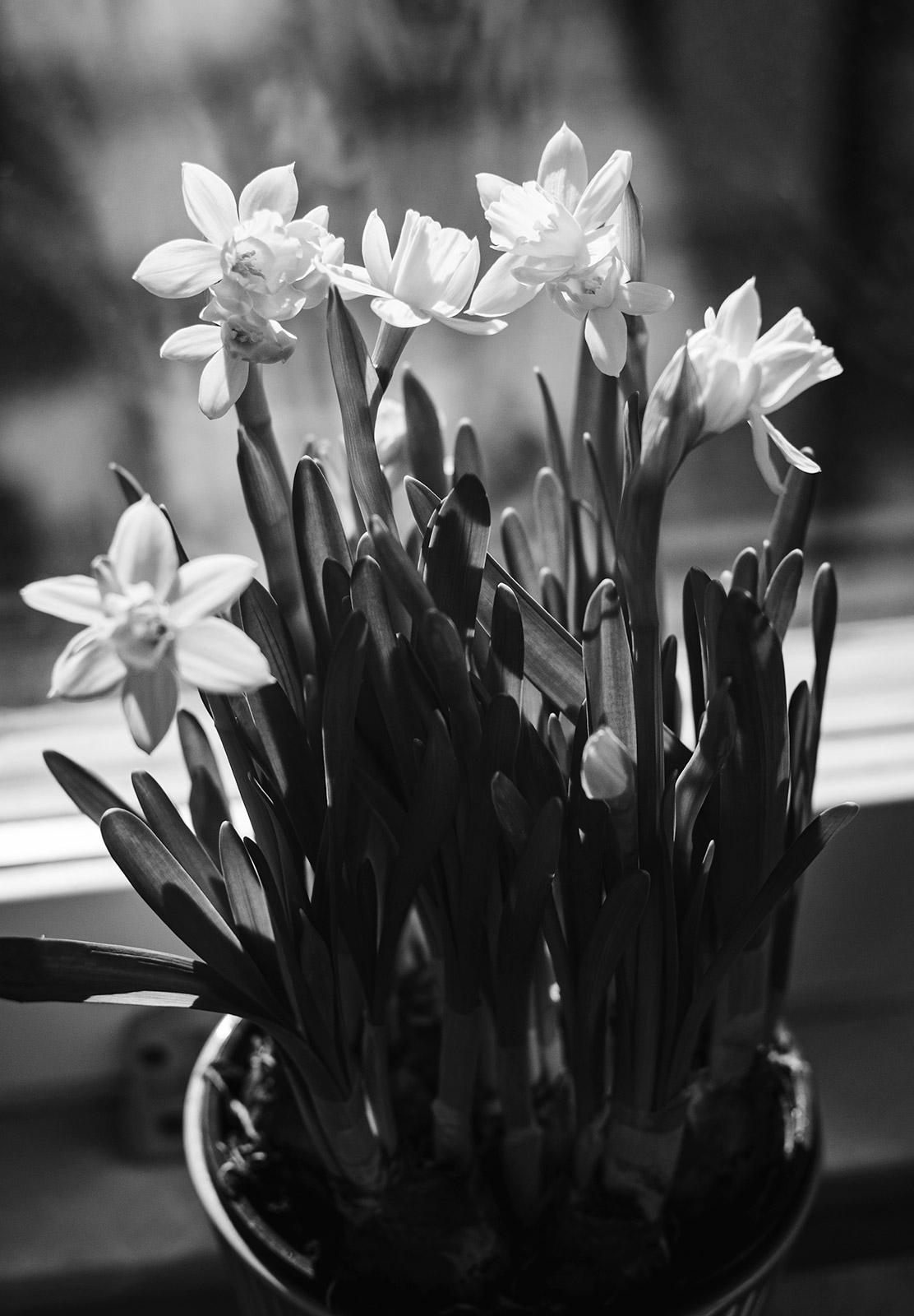 Sun on daffodils