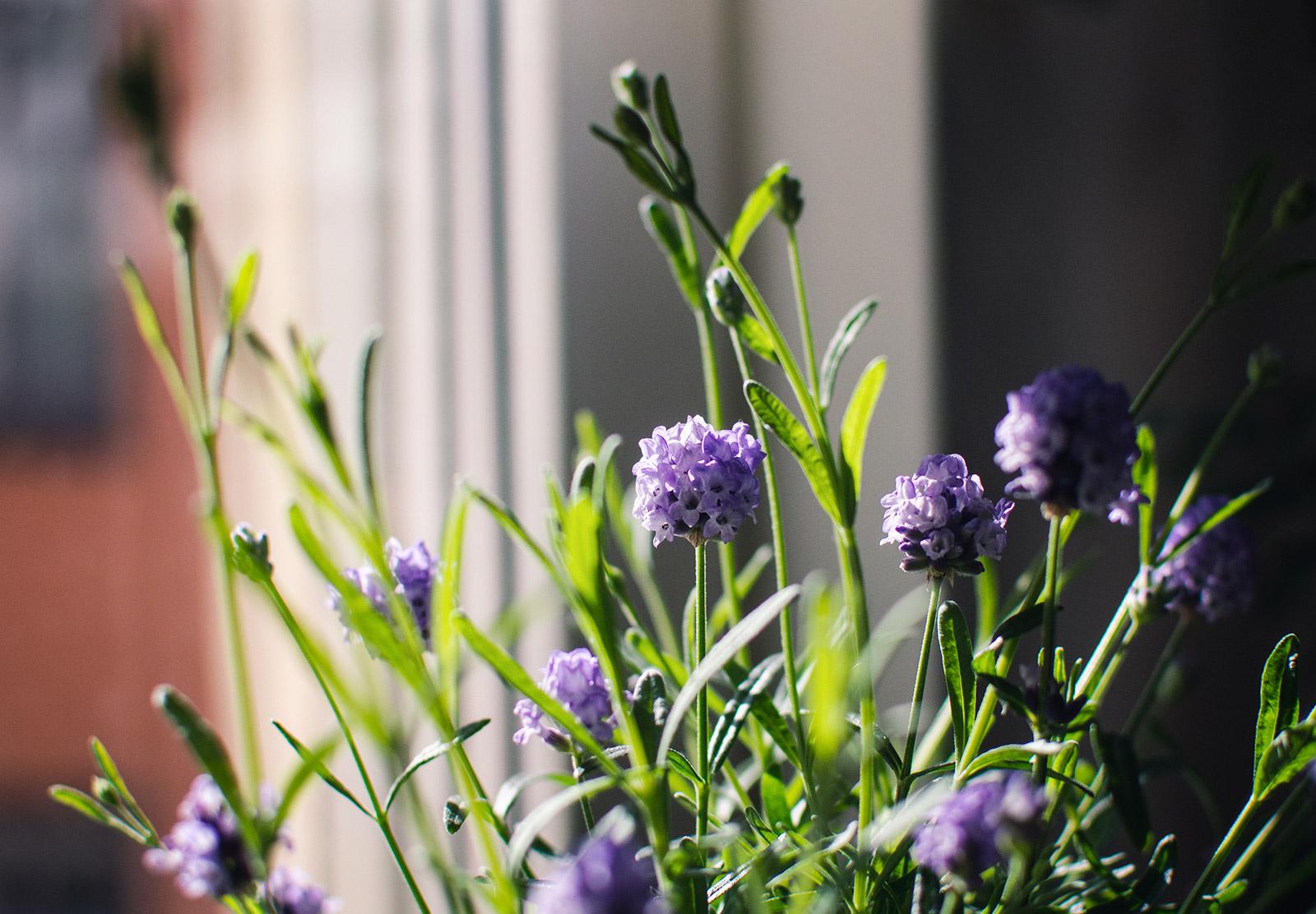 Lavender in the sun